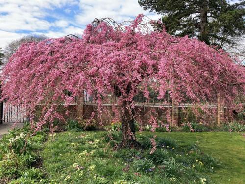 1. Flowering Cherry