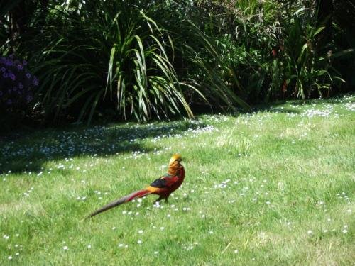 17.Amherst Golden Pheasant, Abbey Gardens, Tresco