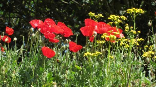22. Waltham Abbey Poppies 1