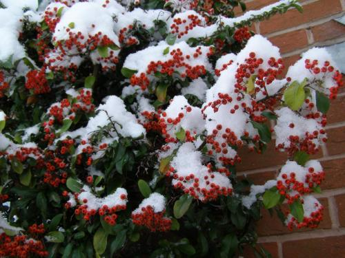 28. Firethorn in the snow